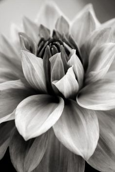 Black and White Dahlia by Danielle Miller