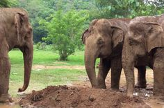 After jungle walk elephants are ready to cover their bodies with dirt