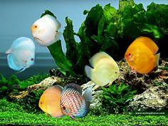 Image detail for -discus, animals, aquarium, color, discus, fish, trees, water