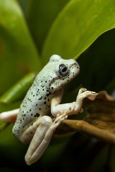 An interesting side angle of a very bland looking frog. He is still a good boy Reptiles And Amphibians, Mammals, Frog Habitat, Amazing Frog, Frog Illustration, Green Tree Frog, Frog Pictures, Poison Dart Frogs, Funny Frogs