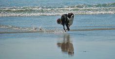 Border Collie running in Machir Bay, Isle of Islay