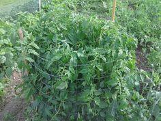 cultiver les tomates en cage ! avantages: pas de tuteurs, pas de pincement des gourmands, donc pas de risque de maladie, rendement plus important, on arrose dans le seau percé placé au centre à la plantation, je vais faire ça cette année !!!