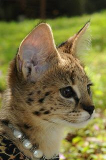savannah cat!! This is what my kitten will be wearing, something like this, hehe