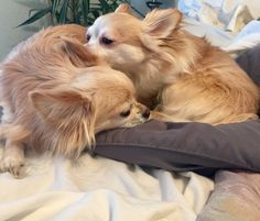 Lucky and Charm❤️, whispering sweet chihuahua nothings