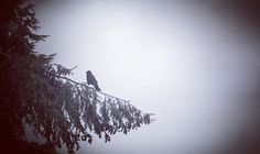 Raven on a cold winter day.