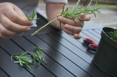Propagating Rosemary cut stem off and peel off some leaves put stem into glass of water.don't let water touch leaves. Herb Garden, Vegetable Garden, Garden Plants, Rosemary Garden, Propagation, Cuttings, Container Gardening, Gardening Tips, Lavender Bedding