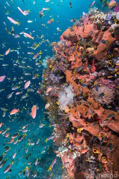 this beautiful coral reef is teeming with fish, and serves as a manta ray cleaning station - Manta Sandy, North Raja Ampat
