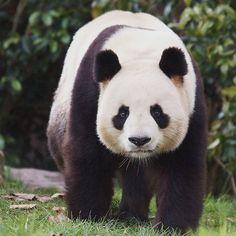 Nos #pandas au ZooParc de Beauval. #zoobeauval #valdeloire #destinationbeauval #saintaignan Le Zoo, Panda Love, Circle Of Life, Cute Funny Animals, Pet Birds, Wildlife, Giant Pandas, Panda Bears, Raccoons