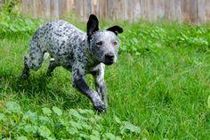 #Love #American #Staffordshire #Terrier #staff #americanstaff #nice #colour #run #dog #favourite #love