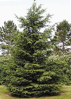 My property won't be properly landscaped without some evergreen!  I am thinking Norway Spruce to give us more privacy in the backyard.  And we can decorate it at Christmas time!