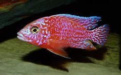 "Aulonocara ""Fire Fish"""