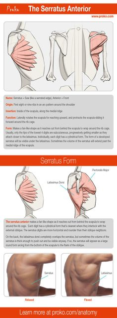 A detailed look at the serratus anterior. Learn more about the other shoulder muscles and how to draw them by visiting proko.com.