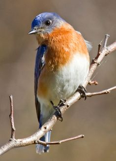Bluebirds consume about 4 grams of food per day, or about 12% of their body weight. This is equivalent to a two hundred pound human eating 24 pounds of food each day.