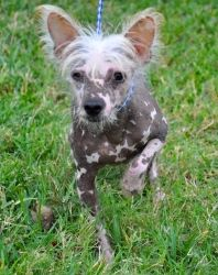 Pierre is an adoptable Chinese Crested Dog Dog in Houston, TX. WE ARE NOT A SHELTER. These Chinese Crestedbabies were turned over to us by a puppy miller who was 'retiring'. This particular dog is es...