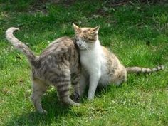 """How to Make Homemade Flea Shampoo for Cats * * WHITE & TABBY CAT: """" Oh jeez, I just knew he wuz gonna start liking me.I dont's want dis tom; I prefur Mirage, the cream tabby. Homemade Flea Shampoo, Flea Shampoo For Cats, Cat Shampoo, Toxic Plants For Cats, Cat Safe Plants, Cat Urine, Cat Fleas, Natural Cat Repellant, Gatos Cool"""