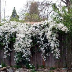 Clematis Little white charm (groenblijvend) - Clematis Online, Goedkoopste in Klimplanten & Planten