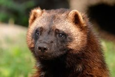 At the Detroit Zoo Female wolverine Anna can be found in the American Grasslands at the Detroit Zoo. Born in 2007, Anna arrived at the Zoo in 2012. She can often be seen jumping and propelling herself off of surrounding objects and trees in her habitat.  Description The wolverine has small, round ears, a …