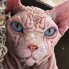 Cute Hairless Cat, Sphynx Cat, Scary Cat, Turquoise Eyes, People Laughing, Unique Animals, Bored Panda, French Bulldog, Lion Sculpture