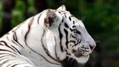 Tigre blanco || White tiger