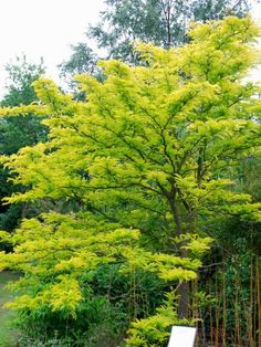 Gleditsia triacanthos 'Sunburst' honey locust