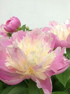"""""""Bowl of Beauty"""" Peony.  My very favorite.  Planted one in my garden about a month ago. Just wish it stayed in bloom longer."""