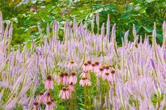 Echinacea pallida and Veronicastrum virginicum 'Lavendelturm'