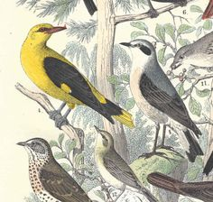 1857 Antique Birds Print Hand Colored Engraving German Original by…