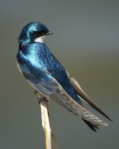 Iridescent Swallow by Whoopi | I've never seen such beautiful iridescent feathers as these!