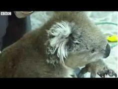 BBC News Koalas rescued from rabbit trap in Melbourne Rabbit Traps, Laziness, Bbc News, Melbourne, Africa, Animals, Koalas, Animales, Animaux