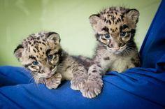 Point Defiance Zoo Leopard Update 6