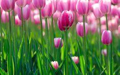 Pink Tulip Wallpaper Full HD #270 Wallpaper