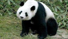 Днес гигантската панда е сред най-обожаваните и защитени редки видове на планетата. Усилията за възраждане на популацията панди срещат трудности, поради смаляващия им се хабитат и трудностите да се размножават извън него.