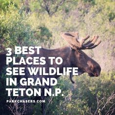 3 Best Spots to See Wildlife in Grand Teton National Park - Park Chasers cruise travel travel cove travel teton national smoky mountains vacation national park Wyoming Vacation, Yellowstone Vacation, Tennessee Vacation, Yellowstone Hikes, Grand Teton National Park, Yellowstone National Park, Wildlife Park, Viewing Wildlife, Humor