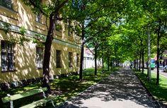Puistokaistaa reunustaa Merikasarminkadun suuntainen tammikujanne ja puiden välissä kulkee kävelytie [Hemmo Rättyä]