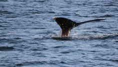 Holland America Whale Watching