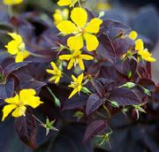 """Loosestrife 'Firecracker': Partial shade to full sun. Blooms in summer. Support if necessary. Grows 24-30"""" tall."""