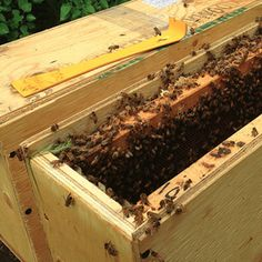 Keeping Hardier Bees. There's such a thing as hygienic bees. These bees recognize sick bees in the hive and remove them. So cool!