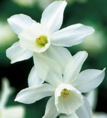 Narcis mnohokvetý ´THALIA´ v črepníku K9 - E-shop - LUMIGREEN.sk - Váš obľúbený internetový obchod s rastlinami