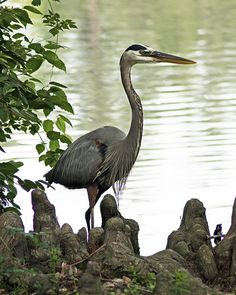 Great Blue Heron ~