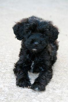Portuguese Water Dog, Splash, when he was a puppy
