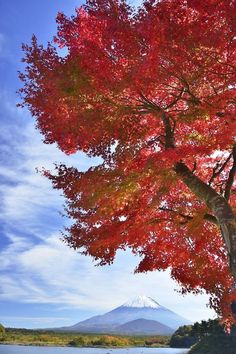 Scarlet Japanese Maple
