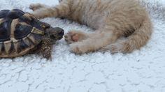 Tastefully Offensive on Tumblr, gifsboom:   Video:Tortoise Tries to Eat Kitten's...