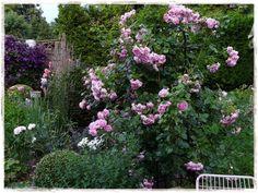 Rose 'Jasmina'