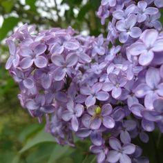 Flieder Syringa vulgaris 'Amethyst' - Lila Flieder - Flieder-Premium Fliedertraum
