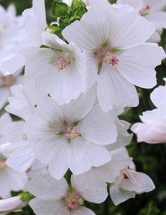 Myskimalva valkoinen - Viherpeukalot Malva, Pink Garden, Large Flowers, Geraniums, Pastel Colors, Garden Inspiration, Perennials, Different Colors, Outdoor Gardens