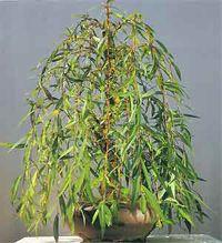 Weeping willow bonsai by Chinese Bonsai Garden