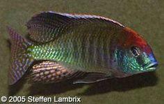 "Cichlid Profiles - Lethrinops sp. ""Red Cap"" (Itungi)"