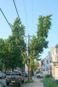 """""""split ginkgo"""" Tree Pruning, Street View, Trees, Explore, Awesome, Plants, Tree Structure, Plant, Wood"""