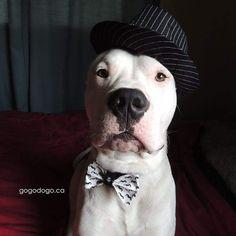 Amazing Dogo Chubby Adorable Dog - 97e164f0128b3ad4656d058d5f824428--dogo-argentino-dog-zoey  Snapshot_983986  .jpg