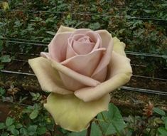 Amnesia - Standard Rose - Roses - Flowers by category | Sierra Flower Finder